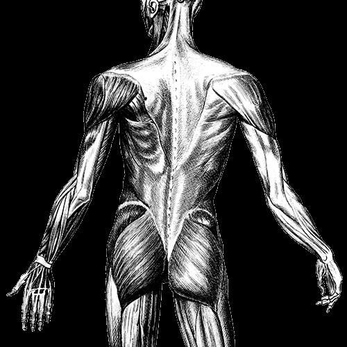 anatomie-rugbilarm